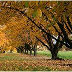 - G e l b  -   Obstbäume im November