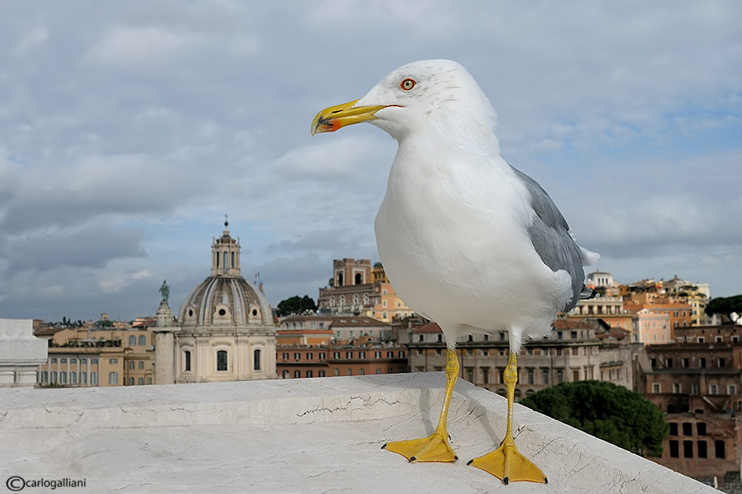 Gabbiano grandangolare a Roma