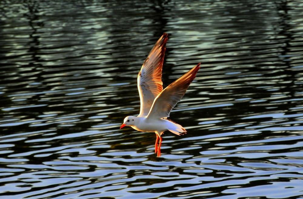 Gabbiano sul fiume bisenzio prato