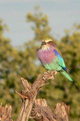 Gabelracke - einer der farbenfreudigsten Vögel in Afrika