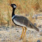 Gackeltrappe im Etoscha-Nationalpark