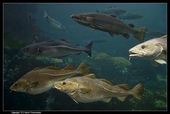 Gadus Morhua, der Dorsch, Lachs, Köhler, Pollack, usw. ... - Cod fish, salmon, etc.