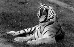 Gähnender Tiger