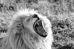 Gähnender Weißer Löwe 813