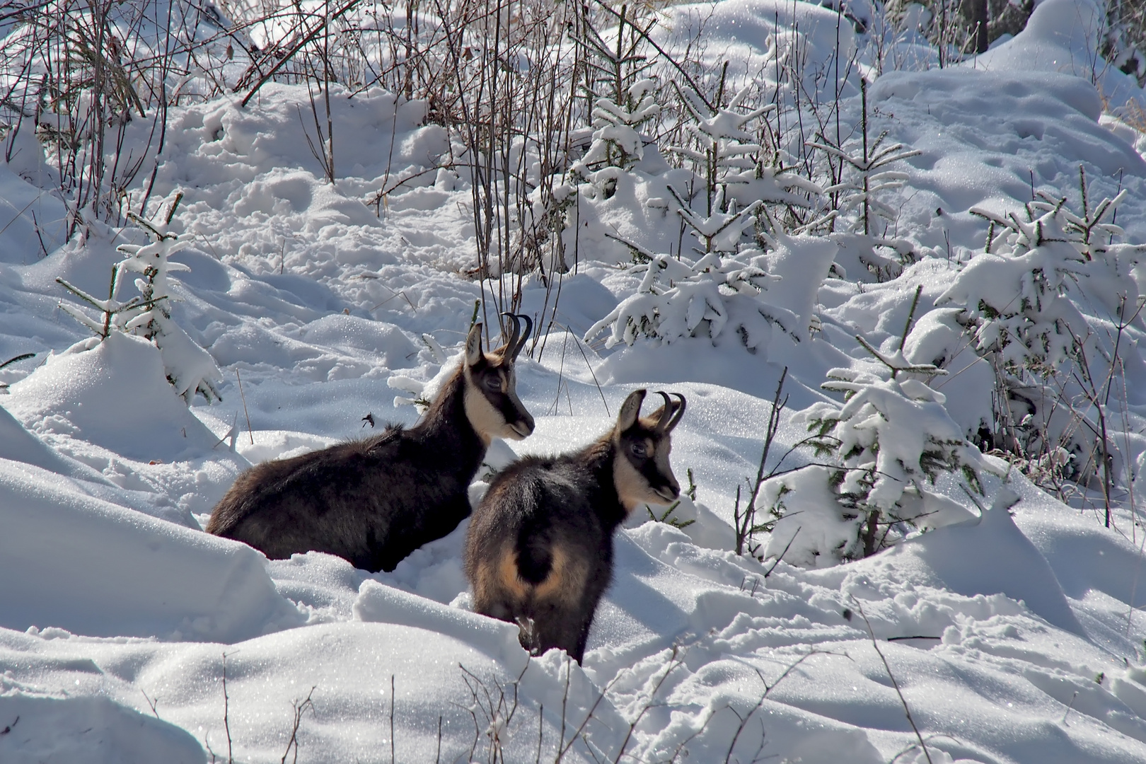 Gämsen (Rupicapra rupicapra) im tiefen Schnee.  -  Deux chamois dans la neige profonde.