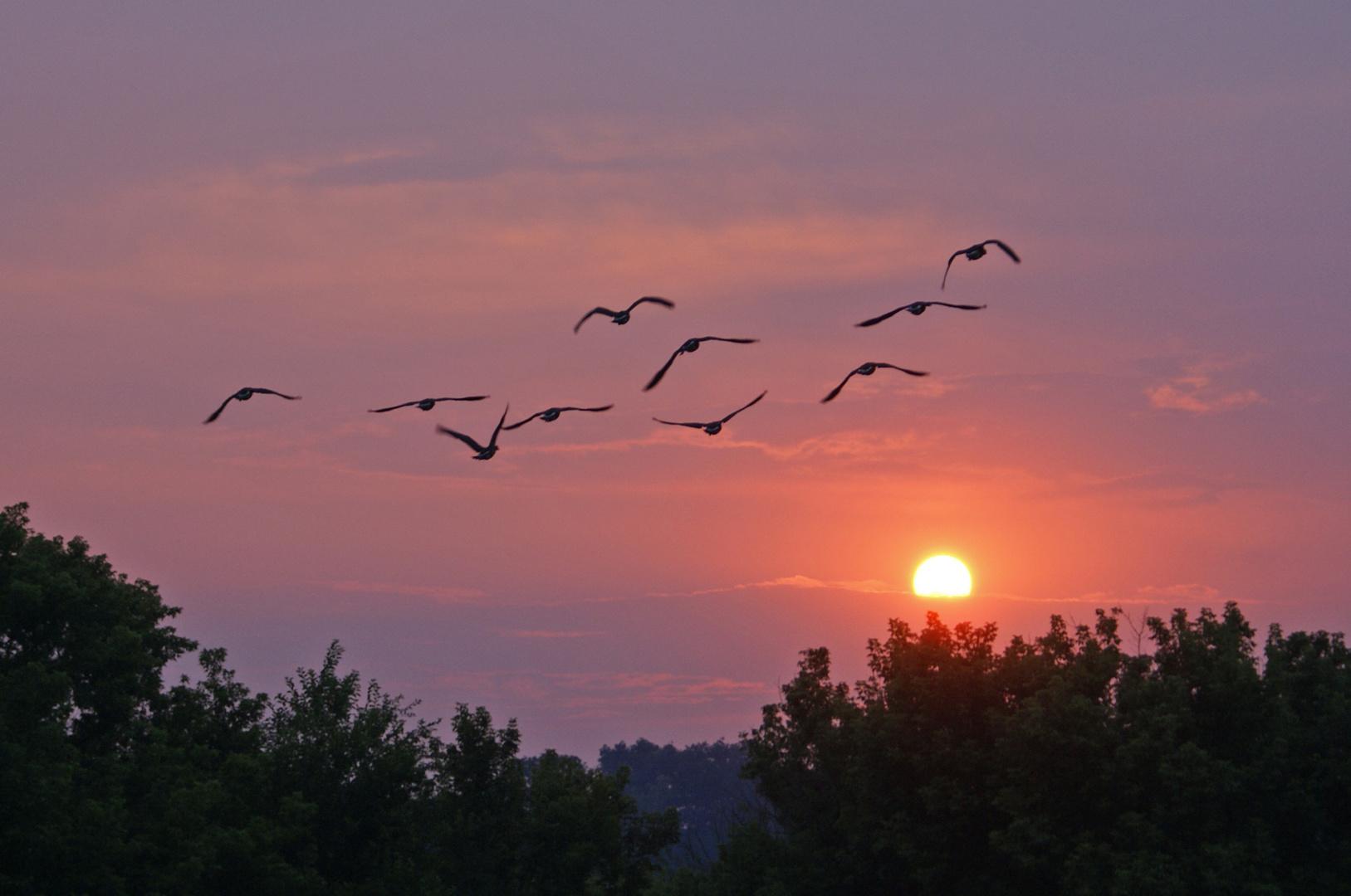 Gänse fliegen in die Nacht