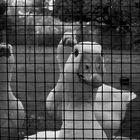 Gänse hinter Gittern