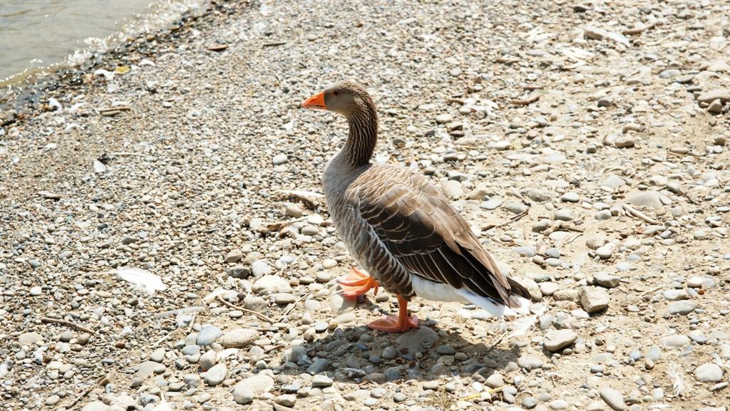Gänse und Enten am Rhein