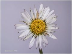 gänseblümchen (bellis perennis) ....