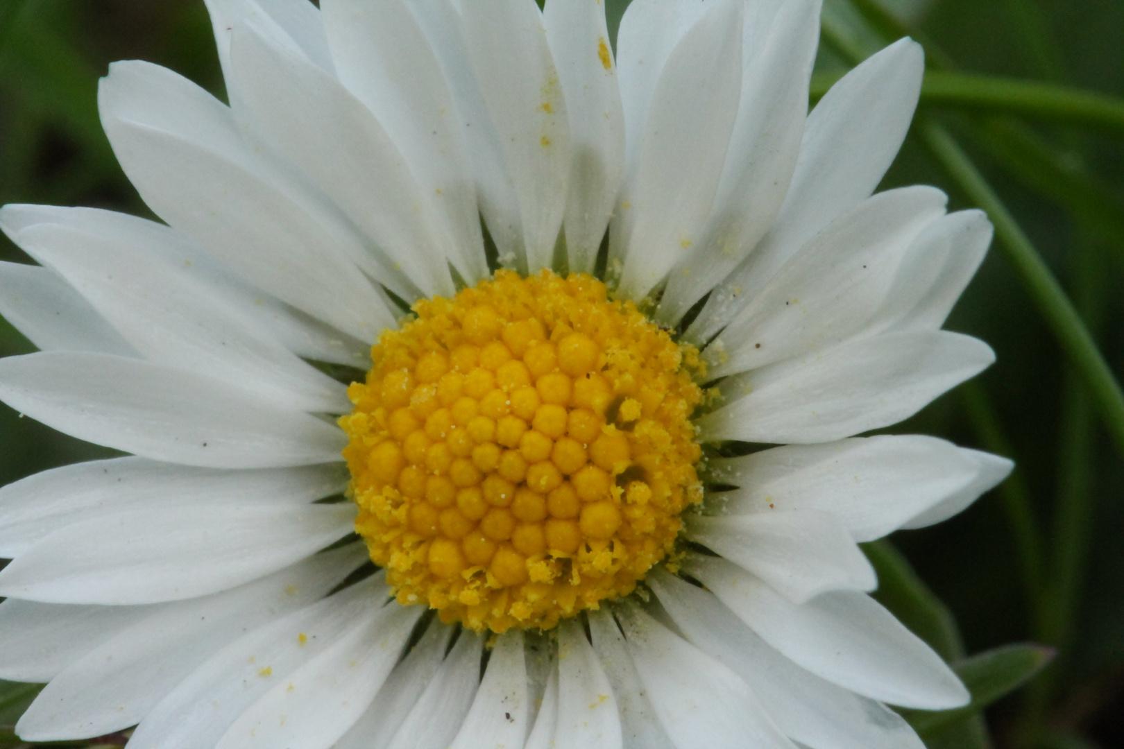 Gänseblümchen Blütensatub