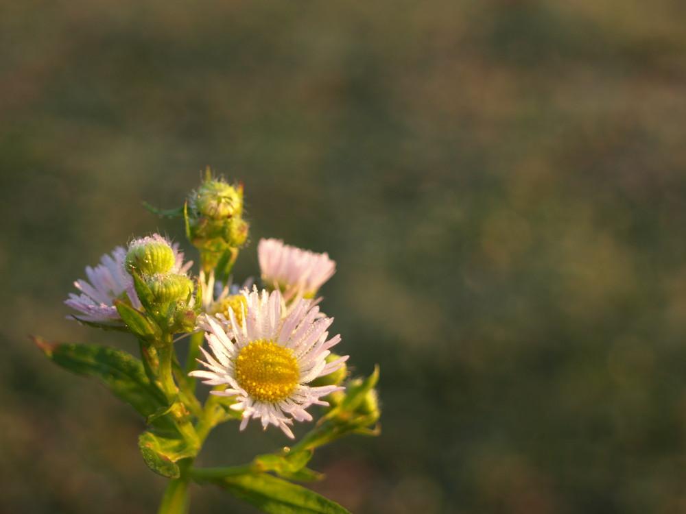 Gänseblümchen im Morgentau