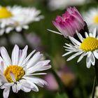 Gänseblümchen-Stillleben