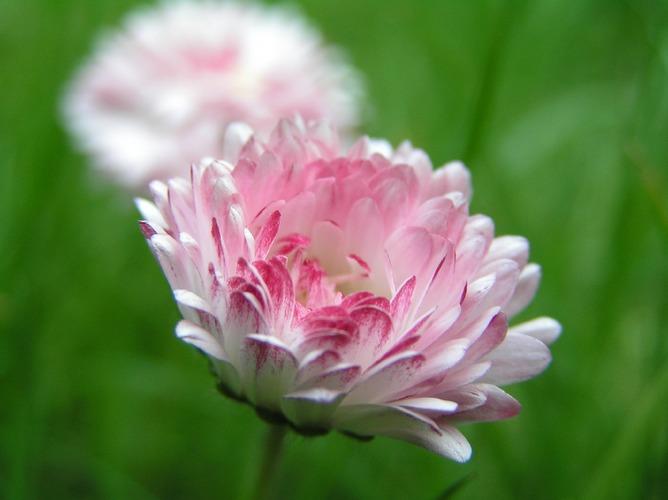 Gänseblümchen, Tausendschönchen oder stokrotka