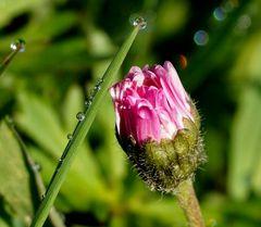 Gänseblümchen trifft Grashalm