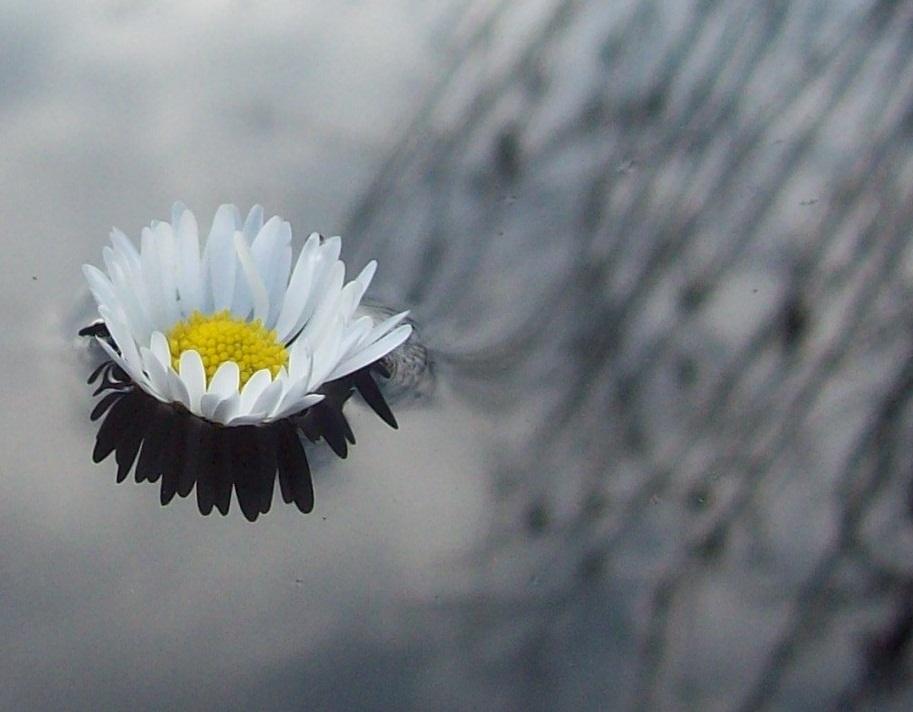 Gänseblümchen um Wasser