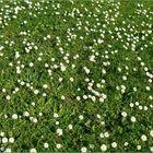 Gänseblümchenwiese