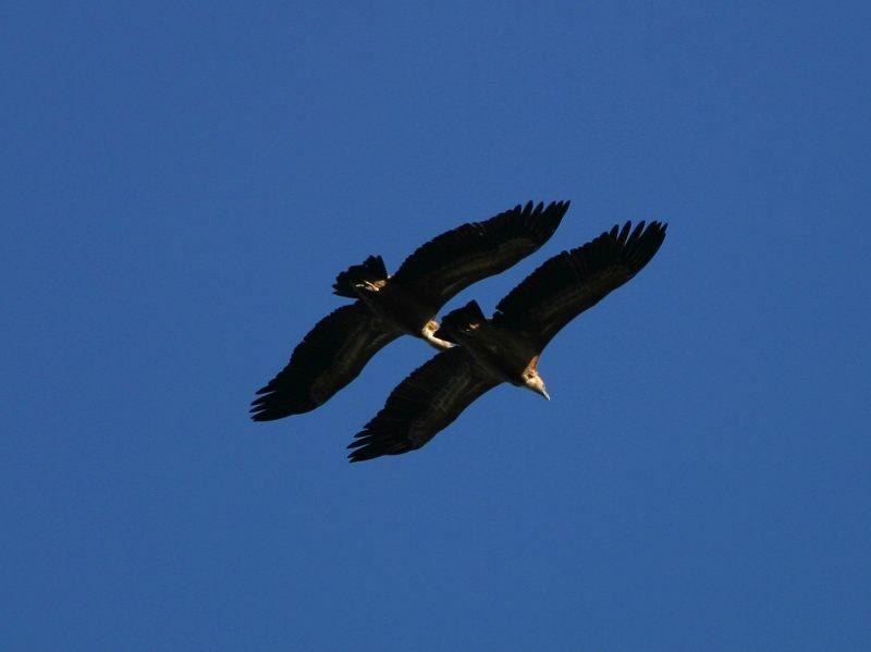 Gänsegeier im Formationsflug bei Villareal de San Carlos