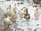Gänsegruppe im Schnee.....