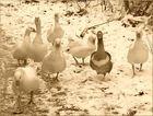Gänsegruppe im Schnee II