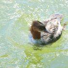 Gänsesäger fem. (Mergus merganser), Common merganser, Serreta grande