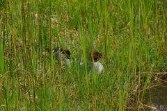 Gänsesäger im Gras