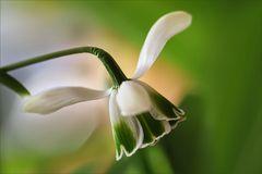 Galanthus elwesii  II.....
