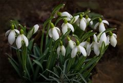 Galanthus nivalis - Schneeglöckchen...