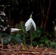 Galanthus peshmenii