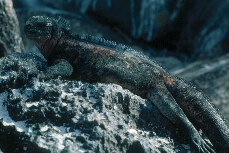 Galapagos Echsen