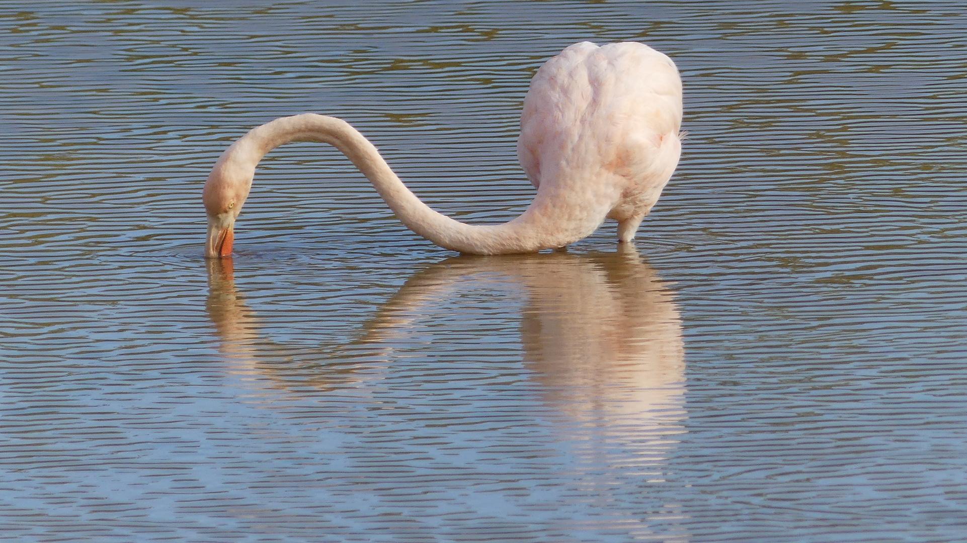Galapagos - Flamingo im Wasser