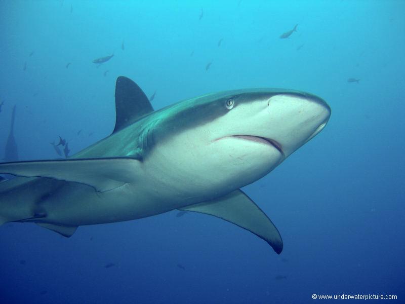 Galapagos Hai / Galapagos Shark