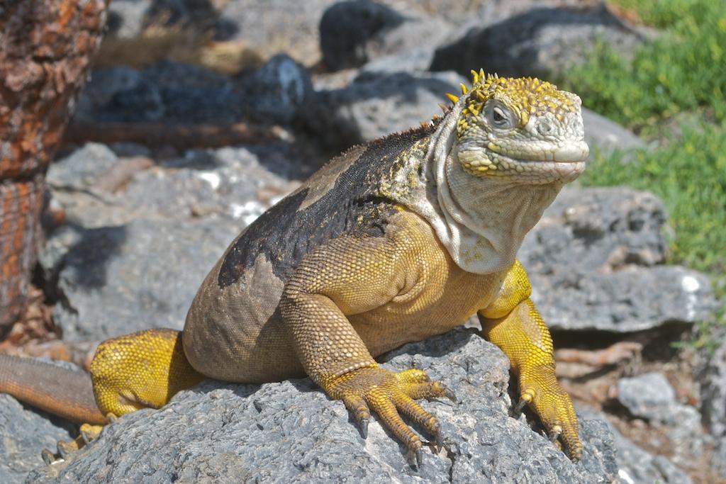 Galapagos Land Iguana auf Plaza Sur
