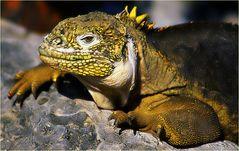 Galapagos-Landleguan