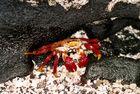 Galapagos - Red Lava Crab