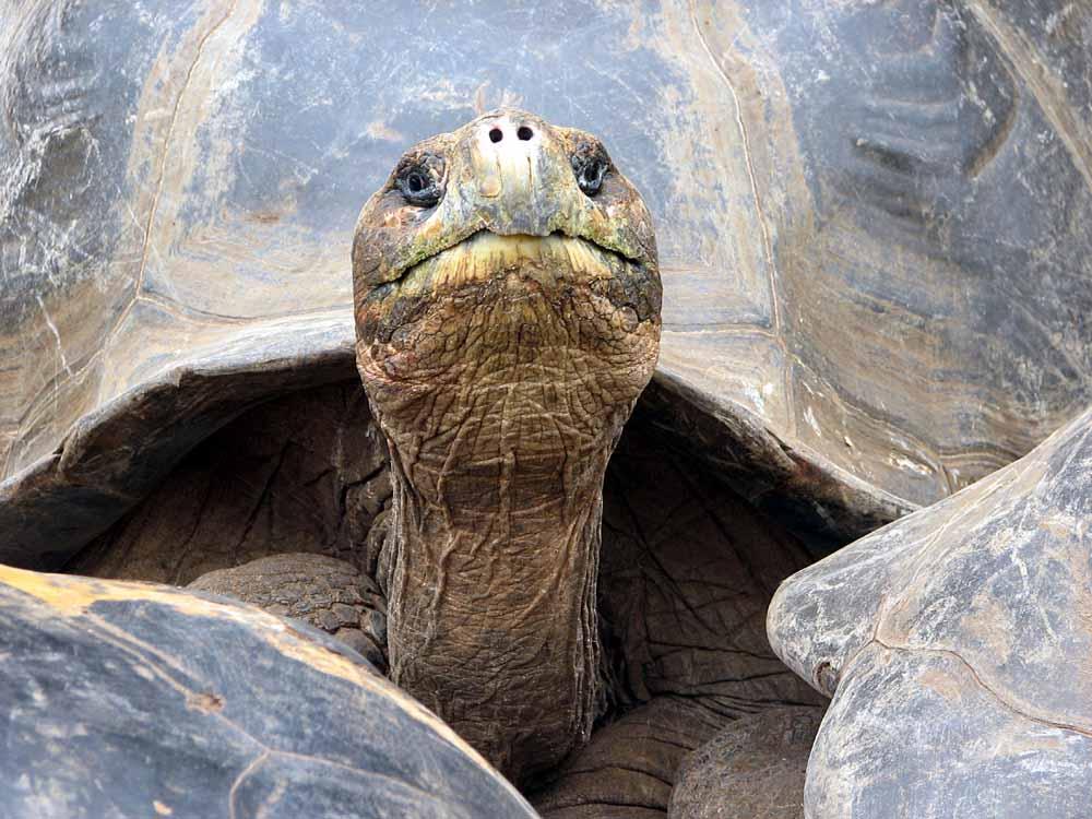 Galapagos-Schildkröte 1