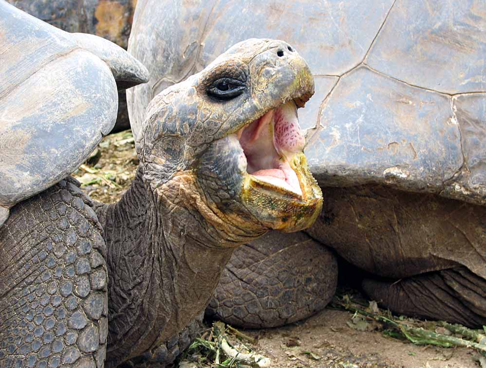 Galapagos-Schildkröte 2