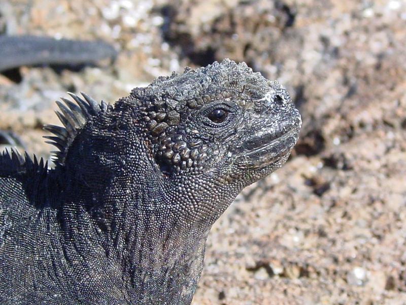 Galapagosechse