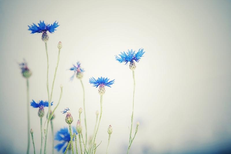 Galerie - Fotoaquarelle und Impressionen | Impressionistische Fotografie ( Blaue Blume )