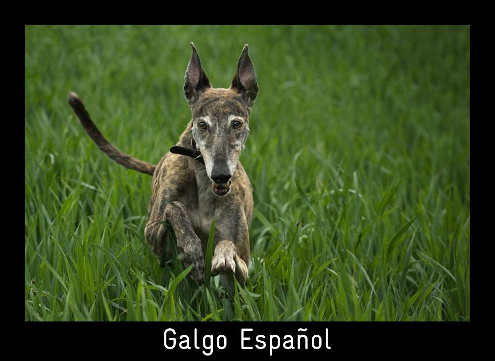 GALGO ESPAÑOL - Eigentlich bin ich doch fast schon zu alt für so hohes Gras