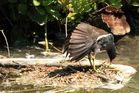 gallinule (poule d'eau)