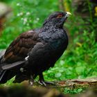 gallo cedrone - foresta bavarese