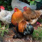 Gallo e galline