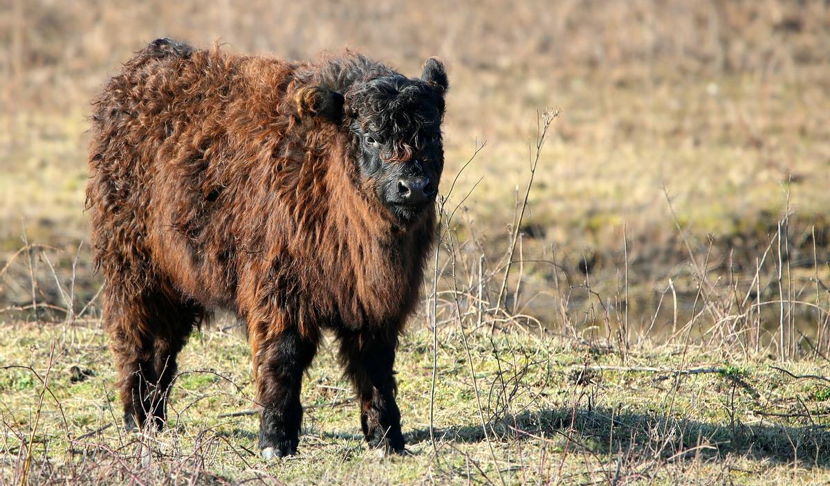 Galloway calf