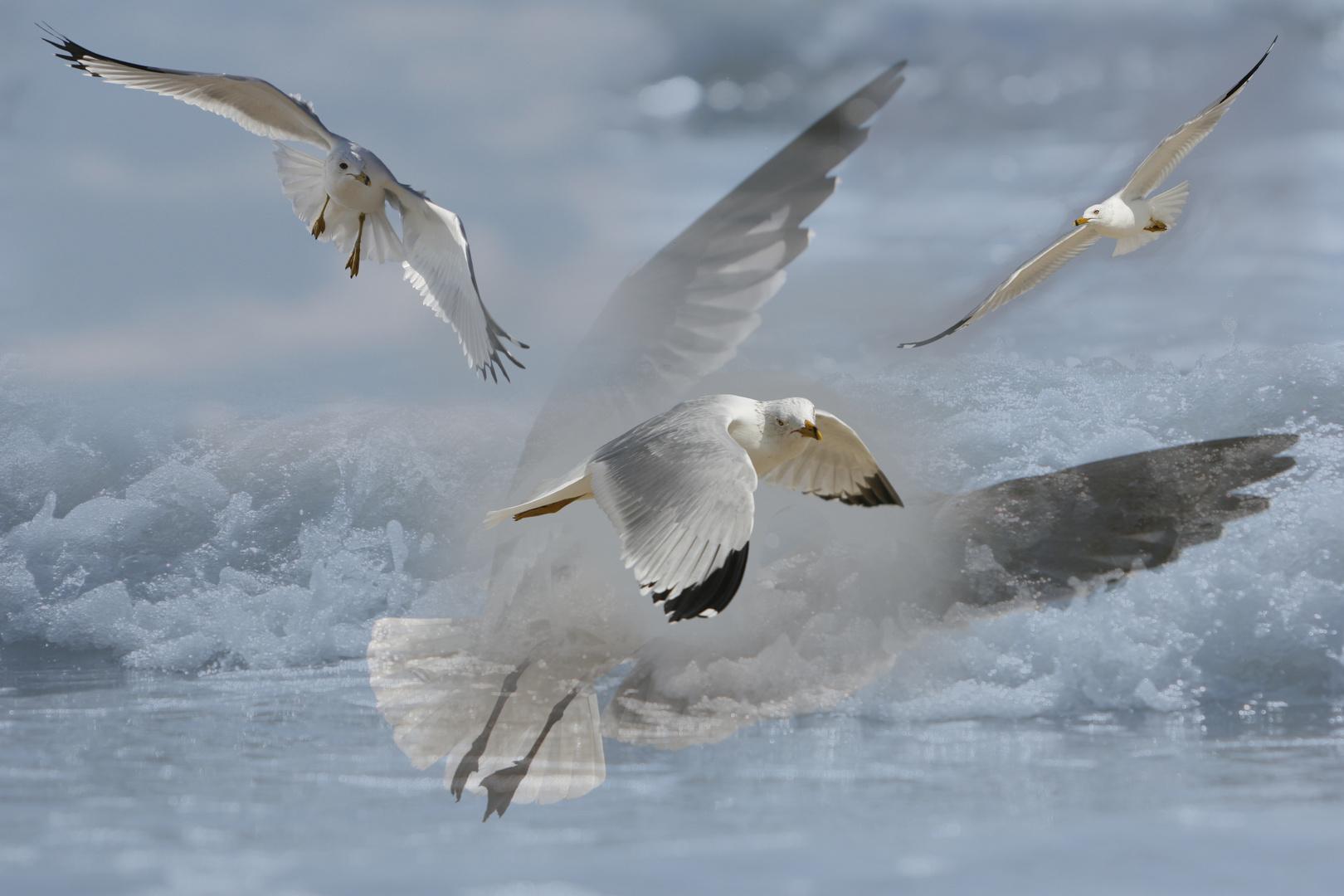 Galveston gulls