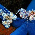 gamberi arlecchino su stella blu