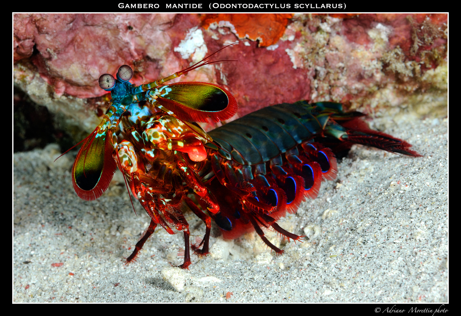 Gambero mantide (Odontodactylus scyllarus)