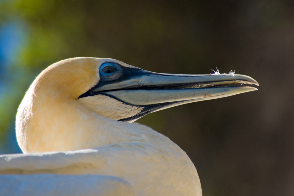 Gannet at Cape Kidnapper | New Zealand