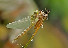Ganz frisch beflügelte Libelle... - Une libellule toute fraîche...