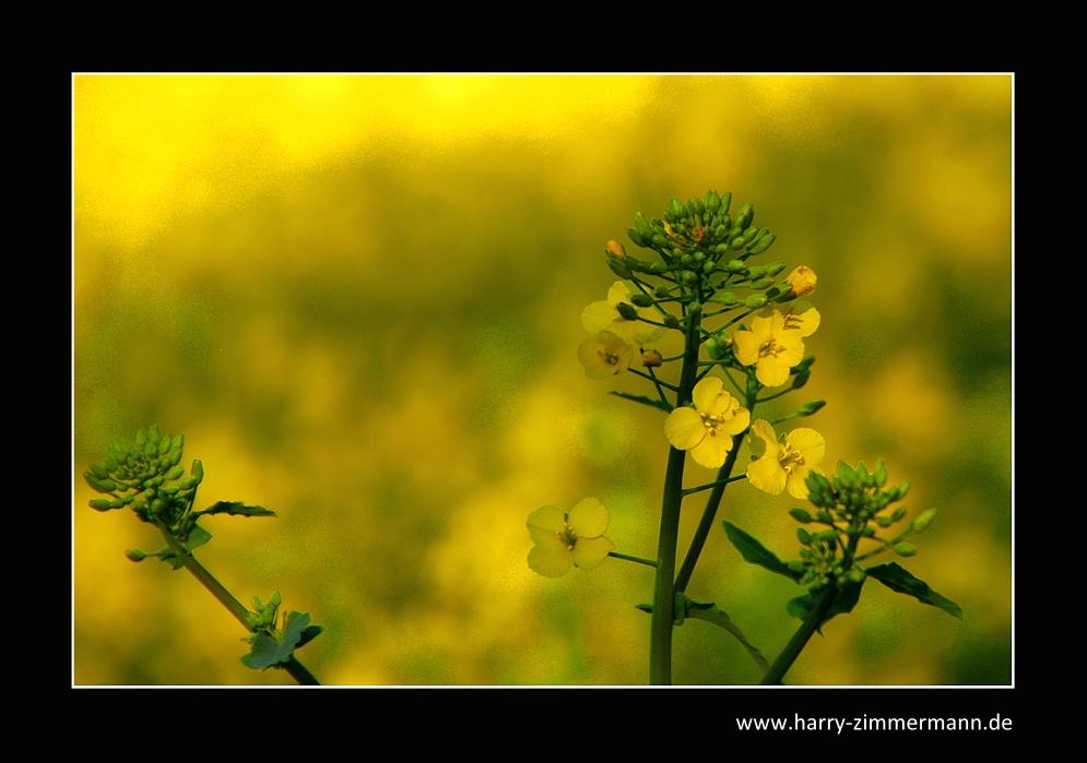 ganz gelb