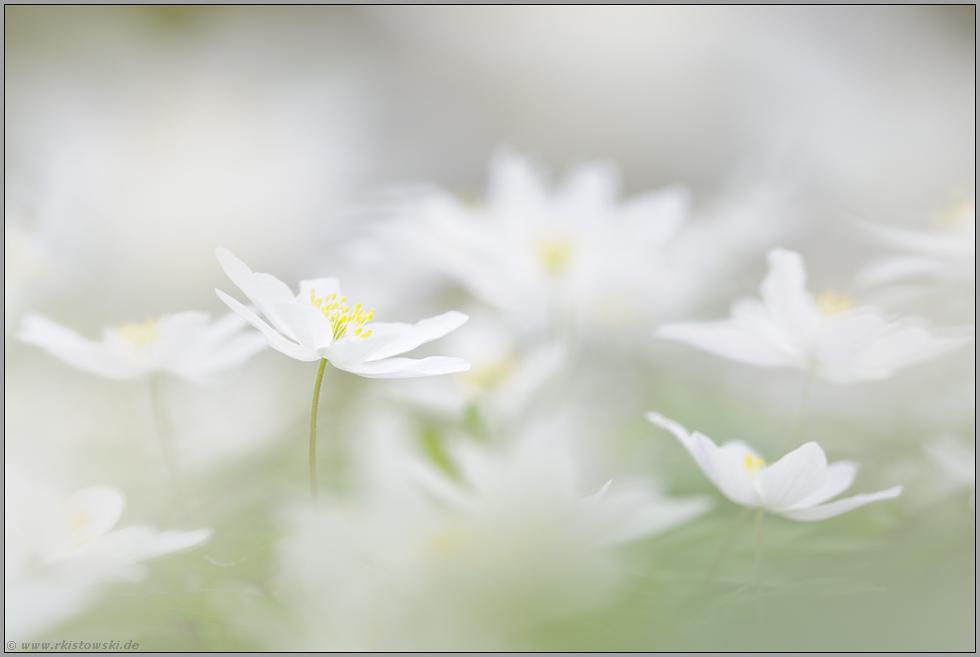 ganz in weiß... Buschwindröschen *Anemone nemorosa*